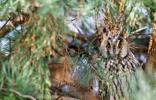 Grey hornet american owl