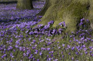 Krokusblüte, Schlosspark, Husum, Schleswig-Holstein, Deutschland, Europa / Crocus napolitanus