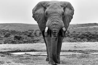 an elephant at the addo elephant park south africa