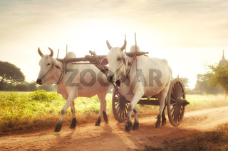 Two white asian oxen. Myanmar