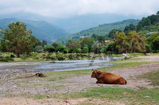 Wiederkäuendes, freilebendes Rind im Bussagliatal - Korsika