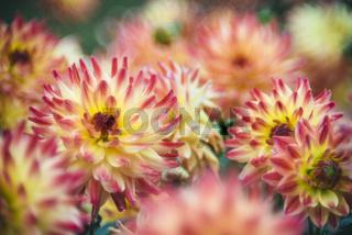 Dahlienblüten