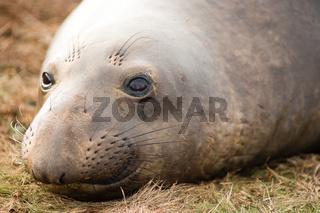 Elephant Seal Wild Mammal Lays Resting Pacific Ocean SeaShore