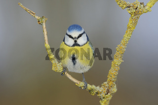 Blickkontakt... Blaumeise *Cyanistes caeruleus*