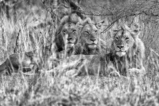 lion's brother resting at etosha
