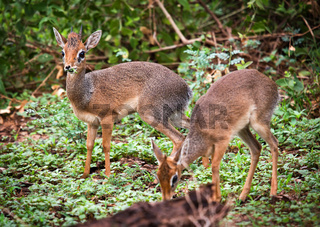 A couple of dik-dik antelopes, in Tanzania, Africa