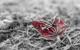 Dead leaf in frost