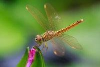 Libelle auf einer Lotusblüte