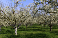 Kirschbaeume, cherry trees