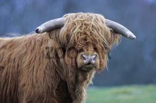 Schottische Hochlandrinder sind sehr gutmuetig, beschuetzen den Nachwuchs aber sehr energisch