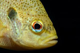 Lepomis gibbosus, Gemeiner Sonnenbarsch, pumpkinseed sunfish, Ginnie Spring, Florida, USA