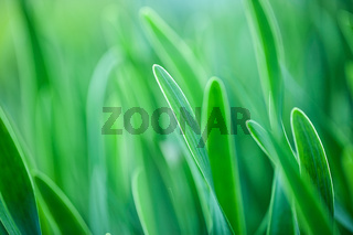 Green grass. Soft focus