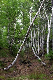 Birken tor