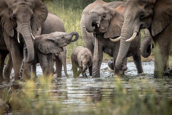 Drinking herd of Elephants in the Kruger National Park