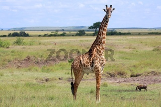 a giraffe at the masai mara national park kenya