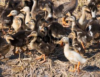 ducklings at duck farm