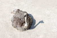 ostrich lying on the sand