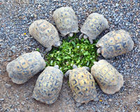 young turtles stand circle and eating salad