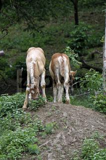Jütländer Kaltblutpferd