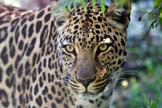 a wonderful leopard at the kruger national park south africa