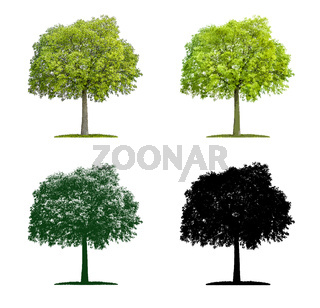 Tree in four different illustration techniques - Celtis australis