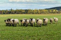 Sheep flock under sun