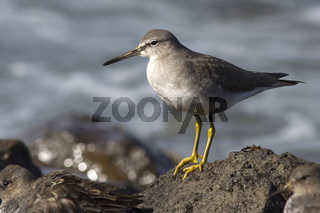 Siberian Tattler that stands on rocks in the surf autumn day