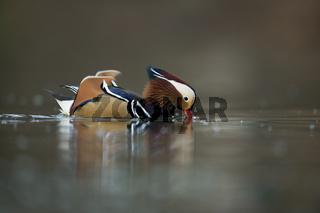 Schwimmente... Mandarinente *Aix galericulata*