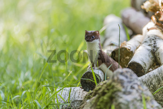 Hermelin Weibchen, Mustela erminea, Female Ermine or Stoat