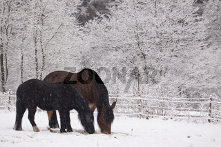 Pferde im Schnee