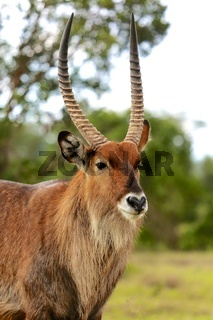 a portrait of a waterbuck at the masai mara national park kenya