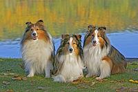 Drei Shetland Schaeferhunde sitzen zusammen am Wasser.