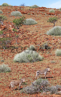 Hartmanns Bergzebras in der Landschaft Palmwags, mountain zebras in the landscape of Namibia, Palmwag concession
