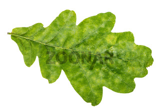 natural green oak leaf isolated on white