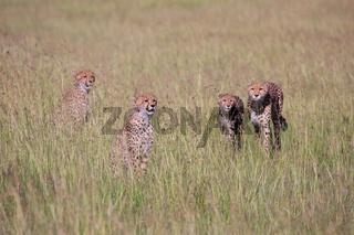cheetah family hunting at masai mara national park
