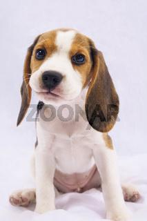 Beagle Welpe Luna