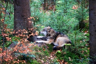 wolf at bavarian forest national park germany