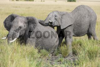 African Elefant,Loxodonta africana ,Elefant,Elephant,