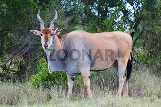 massive cape eland at addo elephant national park