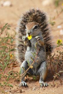 cute ground squirrel at kgalagadi national park