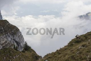 unterwegs in den Alpen... Alpensteinbock *Capra ibex*