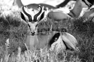 a springbok at kgalagadi transfrontier park south africa