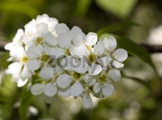 Gewöhnliche Traubenkirsche   Prunus padus