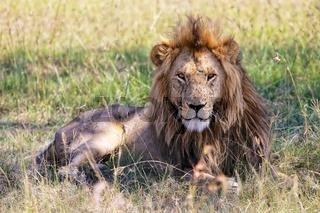portrait of a wonderful lion at the masai mara national park