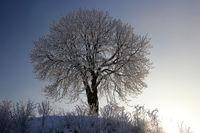 Kastanienbaum im Winter