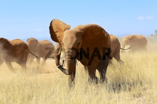 herd of elephants at samburu national park kenya africa