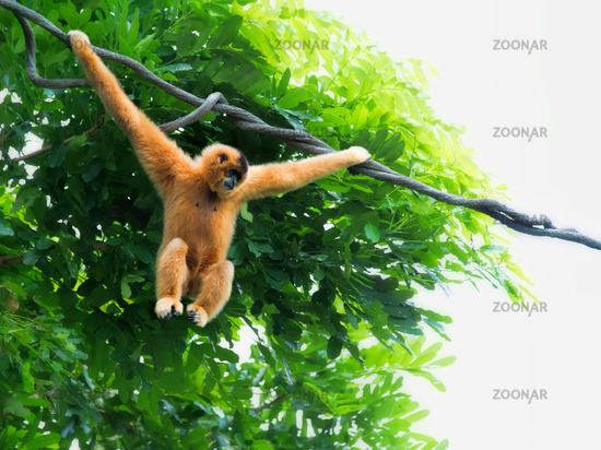 Wild Gibbon Monkeys