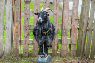 Black goat on a bowl