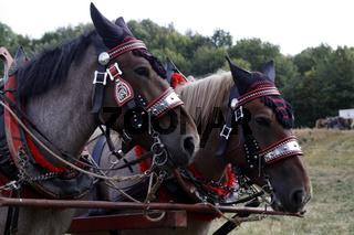 Geschmückte Pferde