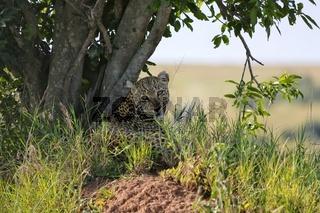 a leopard at the masai mara national park